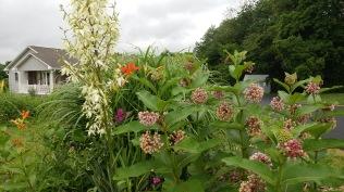 milkweed and yucca
